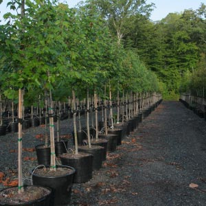container trees at Abby Farms
