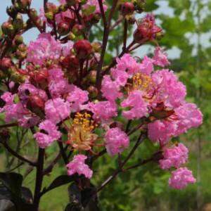crape myrtle pink blossoms