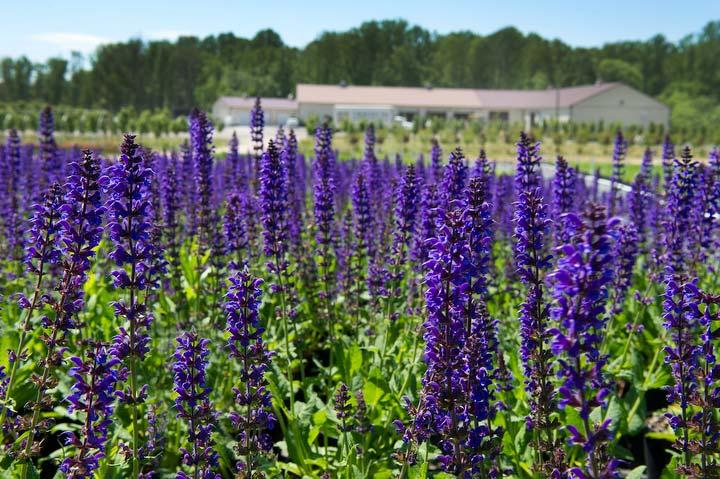 abby-farms-purple