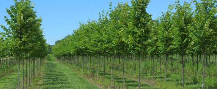 abby-farms-field-grown-trees-730x300