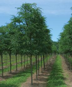 Field Grown Trees