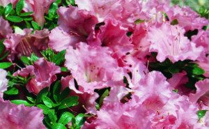 gumpo azalea